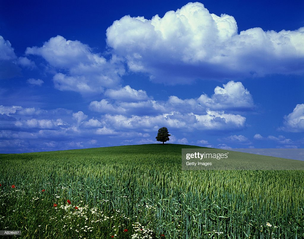 Single tree on grassy hill, flowers in foreground : Stock Photo