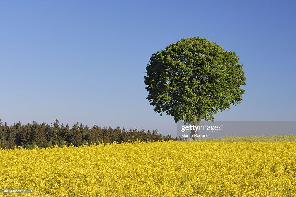 Single tree with blue sky and rape field, spring : Stock Photo