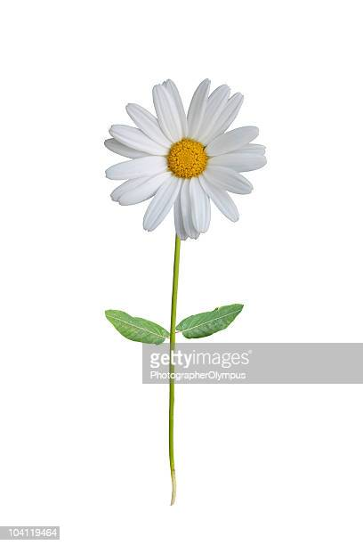 A single white daisy on a white background