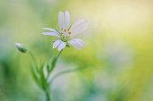Single white greater stitchwort spring flower