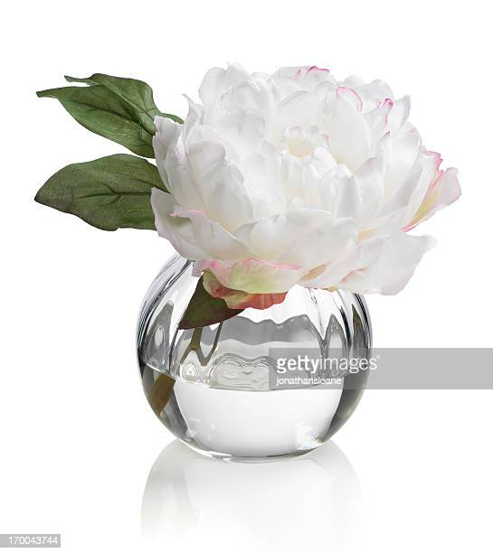 Single white Peony in round vase on a white background