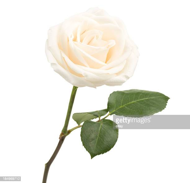 Single white rose on white background