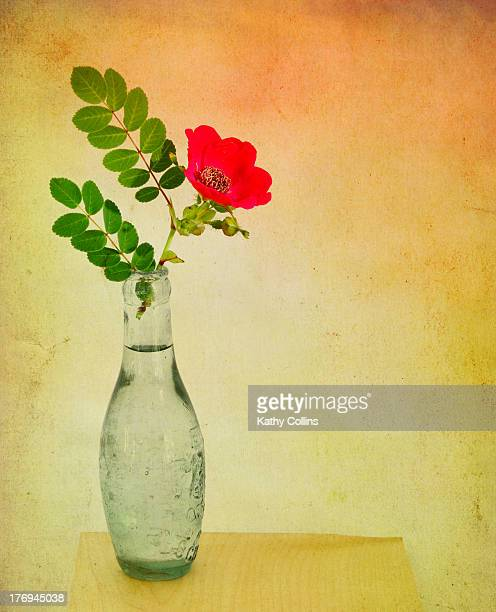 Single wild rose displayed in an old glass bottle