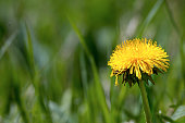 single yellow dandelion flower in green grass with plenty of copy space, common lawn weed, closeup with selected focus and narrow depth of field