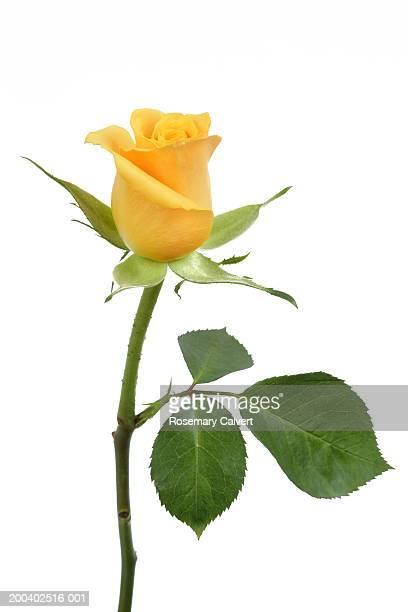 Single yellow rose (Rosa sp.), close-up