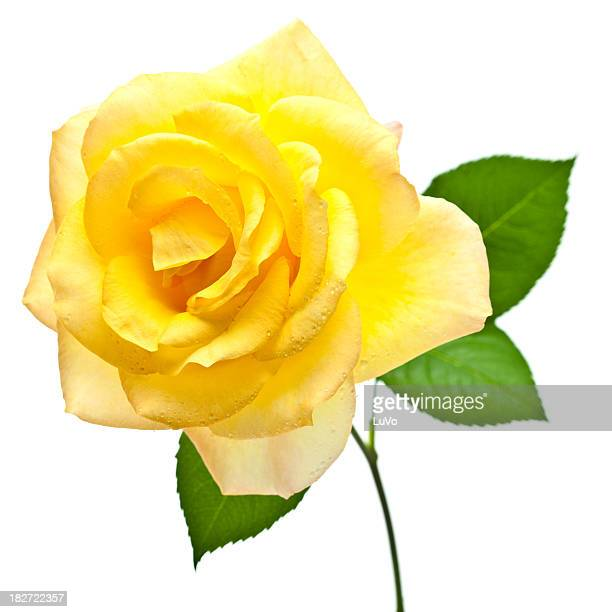 Yellow Roses Stock Photos and Pictures | Getty Images