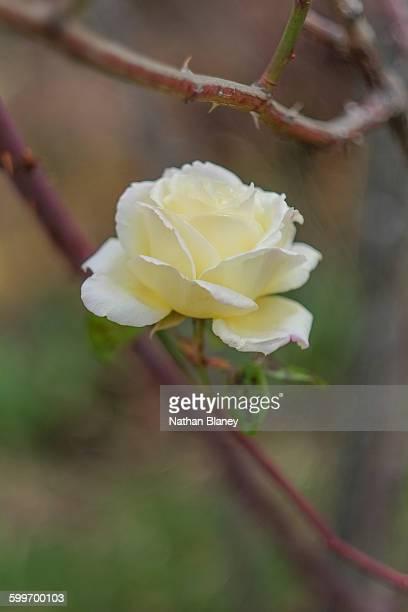 Single yellow rose