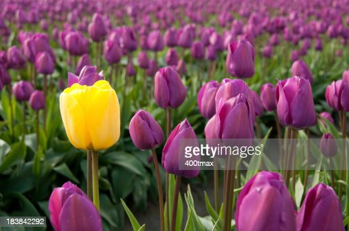 Single Yellow Tulip Surrounded By Purple Tulips Stock ...