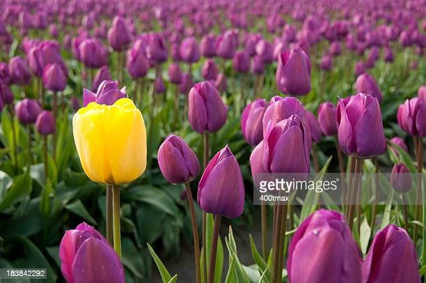 Tulipe jaune simple entouré de tulipes pourpres
