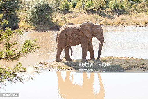 Single young elephant bull standing on small island : Stock Photo