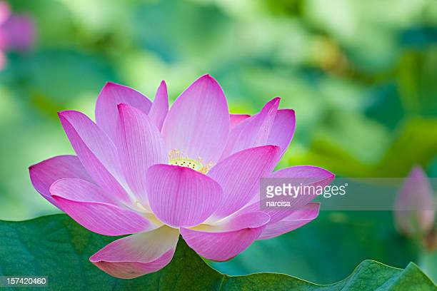 A singular purple lotus flower