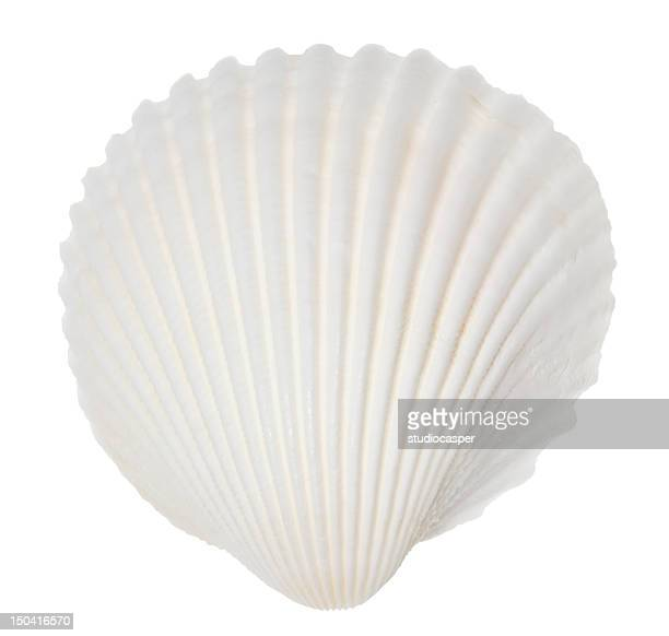 A singular white ocean shell on white