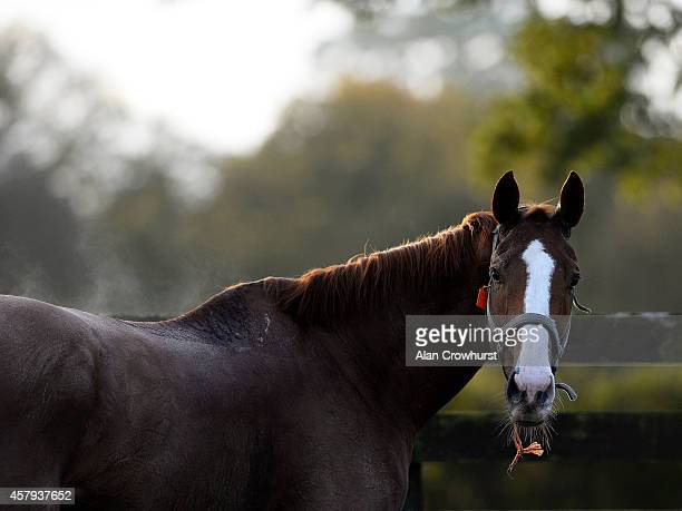 Sire De Grugy at Gary Moore's Ciswood Racing Stables on October 27 2014 in Horsham England