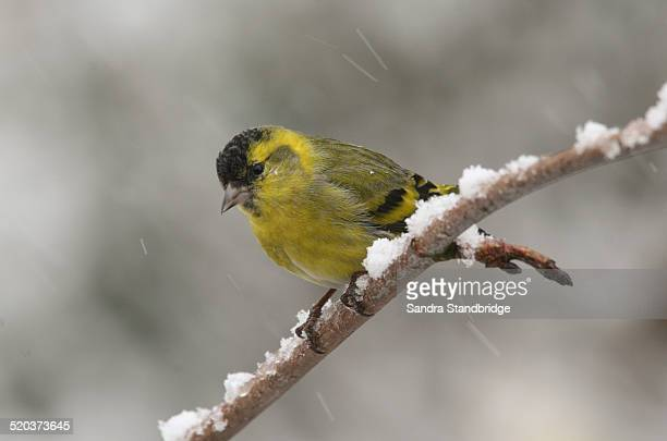 A Siskin in a snow storm.