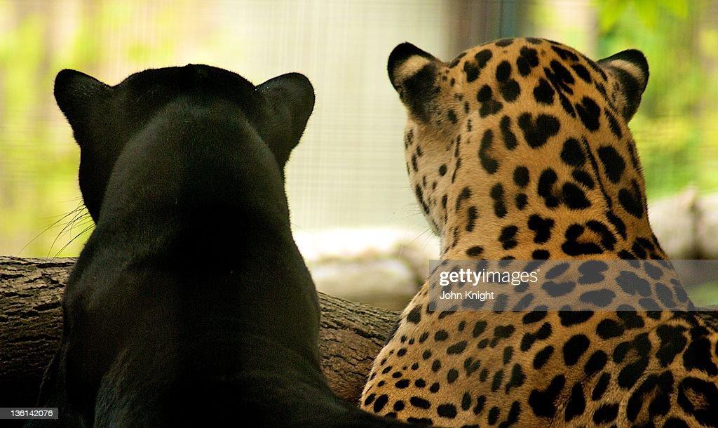 Sister and brother jaguars sitting together