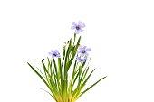 Sisyrinchium Devon Skies, Blue-Eyed Grass, suited for rock gardens