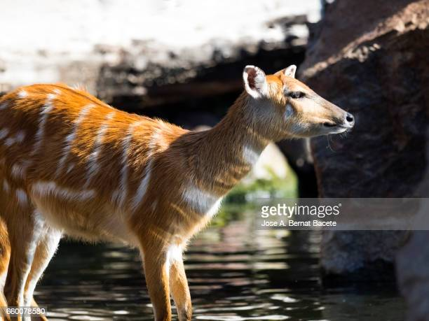 Sitatunga (Tragelaphus spekii), herd of animals drinking inside a river