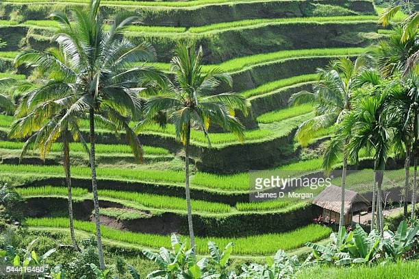 Sitting amongst the lush rice fields lies the ultra luxury of one of Bali's most stunning hotels on January 14 2011 in Ubud Bali With stunning valley...