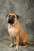 Sitting bull mastiff dog portrait