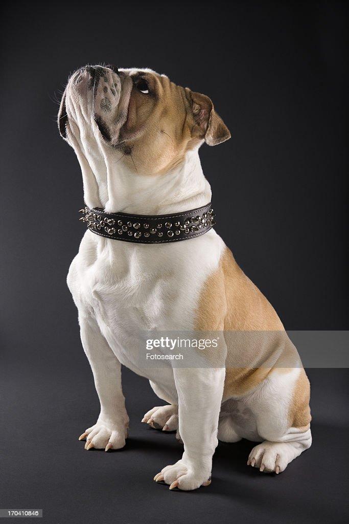 Sitting English Bulldog with spiked collar looking upward.