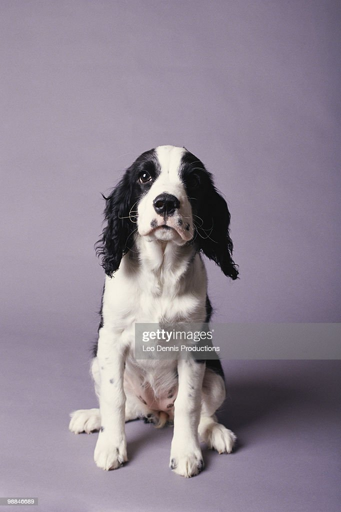 Sitting puppy : Stock Photo
