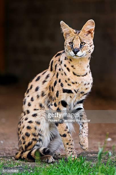 Sitting serval