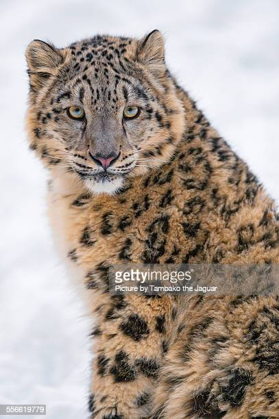 Sitting young snow leopardess