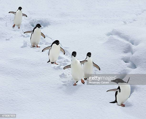 Six adelie penguins form a team, Antarctica