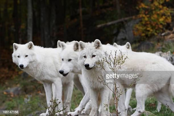 Six Arctic Wolves ( three hidden, shallow DOF)