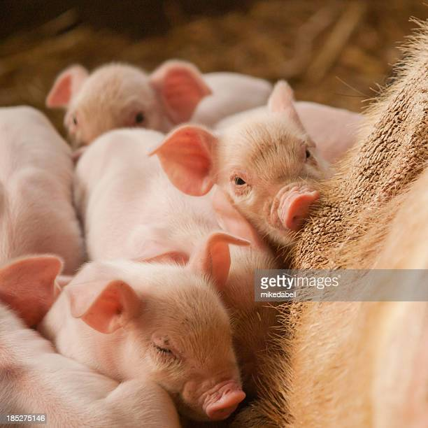 Six cute little pink piglets with their mother