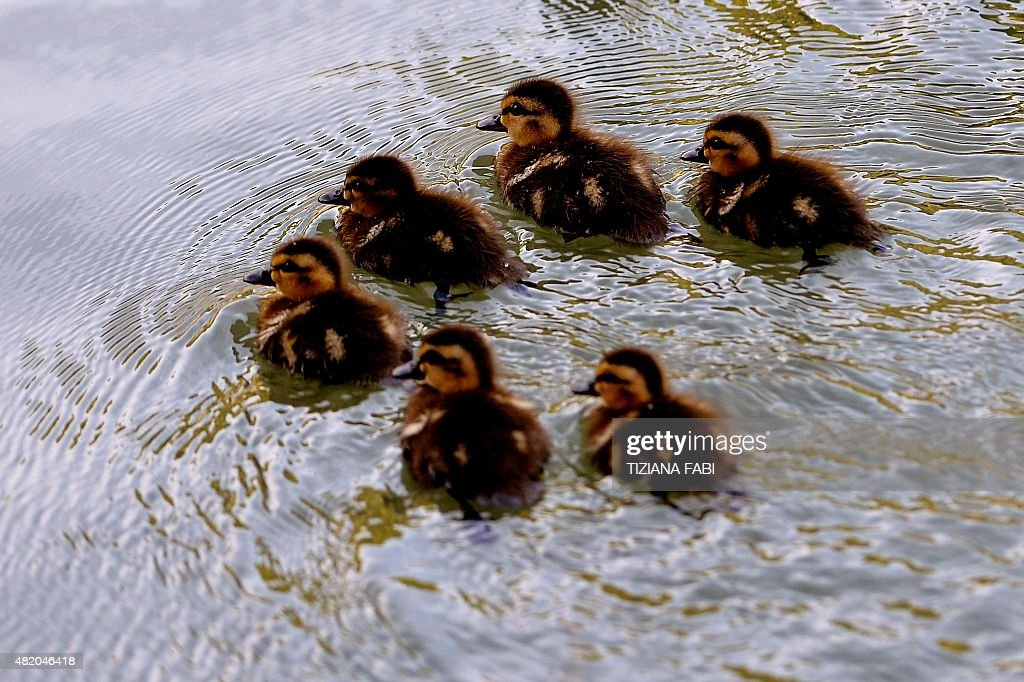Six ducklings are pictured on the Tiber River in Rome on July 26 2015 AFP PHOTO / TIZIANA FABI