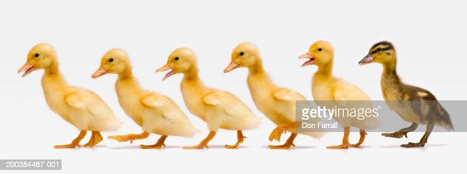 Six ducklings in row, side view (Digital Composite)