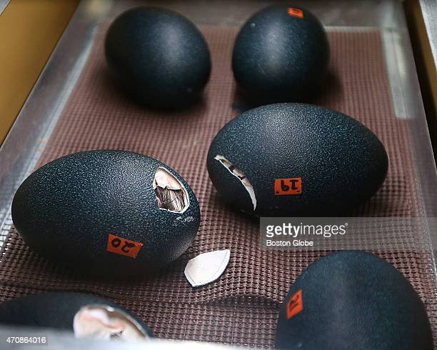 Six emu eggs are in various stages of hatching in Harvard University's Natural History Museum on April 23 2015 It can take up to 24 hours