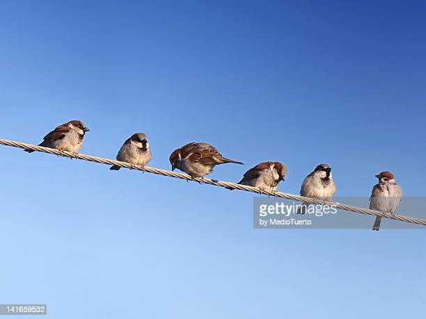 Six house sparrows on wire
