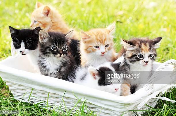 Sechs kleine Katzen im Korb im Freien.