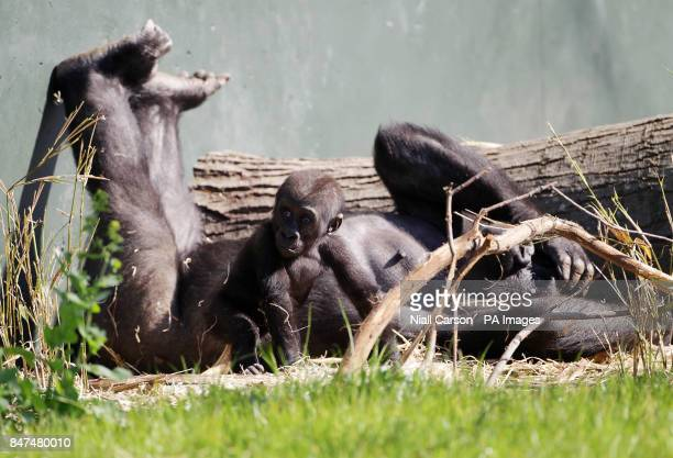 Six month old baby Western Lowland Gorilla Kambiri and her mother Mayani enjoy the sunny conditions in Dublin Zoo today PRESS ASOCIATION Photo...