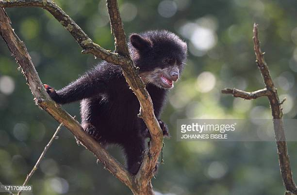 Six month old spectacled bear cup Rina also known as Andean bear plays in its enclosure in the zoo Tierpark in Berlin Germany on June 28 2013 AFP...