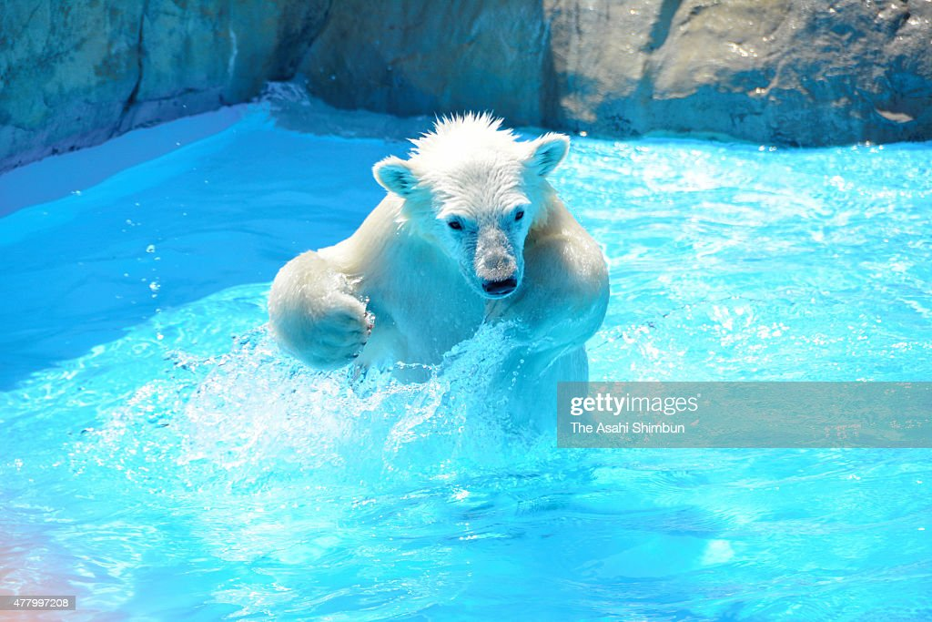 A six months old baby polar bear struggles to catch a rainbow trout at Sapporo Maruyama Zoo on June 20 2015 in Sapporo Hokkaido Japan