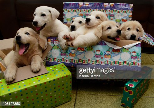Six puppies sit in Christmas boxes