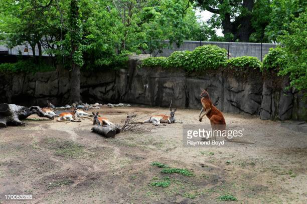 Six Red Kangaroos at Lincoln Park Zoo in Chicago Illinois on MAY 29 2013