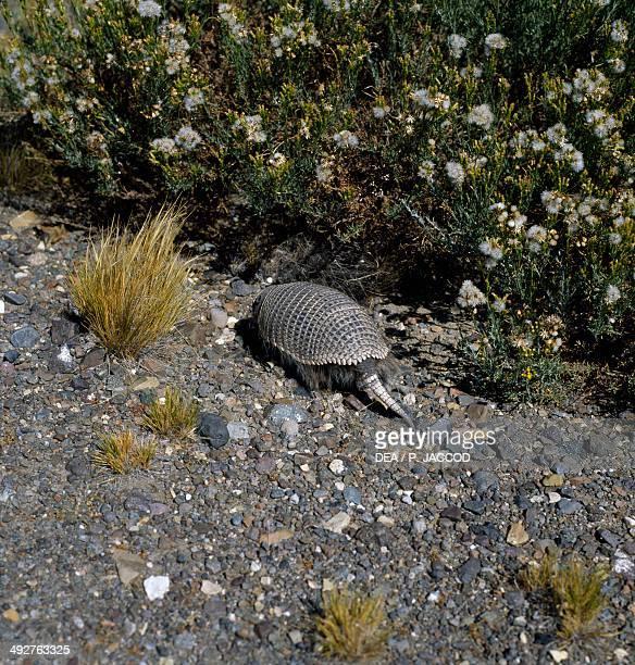Sixbanded armadillo Dasypodidae