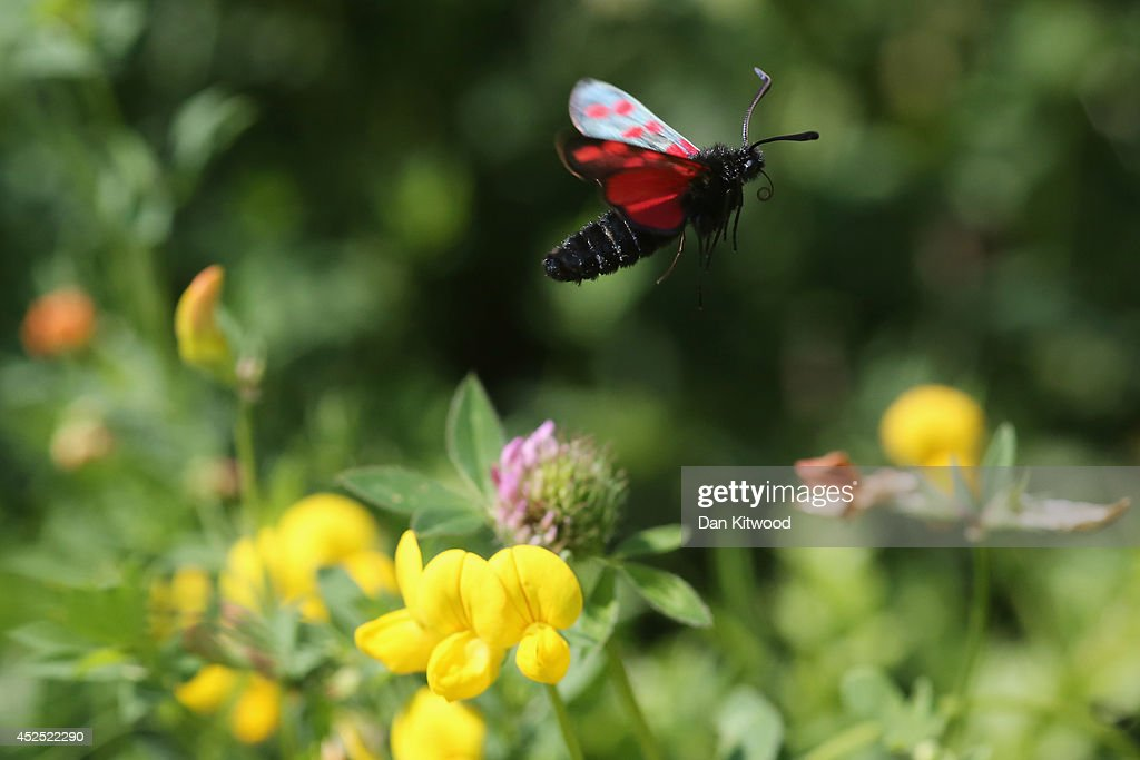 A Six-spot Burnet moth flies in search of nectar in Ladywell Park on July 22, 2014 in London, England. Many insects can be seen emerging during the summer months in local urban parks in the heart of the capital. As flowers come in to full bloom, butterflies, moths, bees and other insects play a vital role in the food chain by pollinating plants, and providing a source of food for predators such as bats. The caterpillars of moths such as the Six-spot Burnet rely solely on a small selection of plants such as Common Birds-foot Trefoil and plant Horseshoe Vetch, making it vital that green spaces, which cover 40 per cent of Greater London is managed and understood effectively.