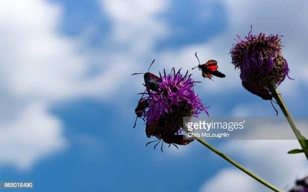 Six-spot burnet Moth in flight