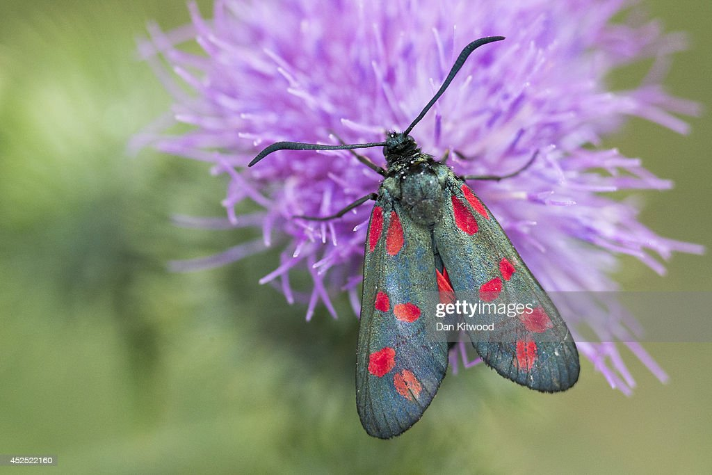 A Six-spot Burnet moth pollinates on a thistle in Ladywell Park on July 21, 2014 in London, England. Many insects can be seen emerging during the summer months in local urban parks in the heart of the capital. As flowers come in to full bloom, butterflies, moths, bees and other insects play a vital role in the food chain by pollinating plants, and providing a source of food for predators such as bats. The caterpillars of moths such as the Six-spot Burnet rely solely on a small selection of plants such as Common Birds-foot Trefoil and plant Horseshoe Vetch, making it vital that green spaces, which cover 40 per cent of Greater London is managed and understood effectively.