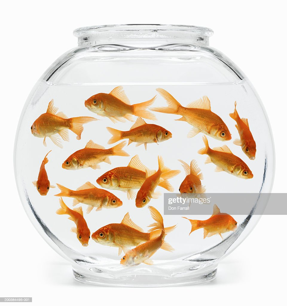 Sixteen goldfish (Carassius auratus) in fishbowl : Stock Photo