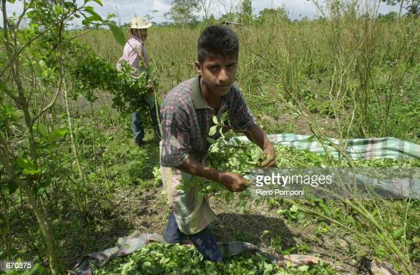 Sixteen year old Wilson Rodriguez is one of hundreds working in the coca leaf plantations January 8 2001 in the province of Putumayo Colombia Since...