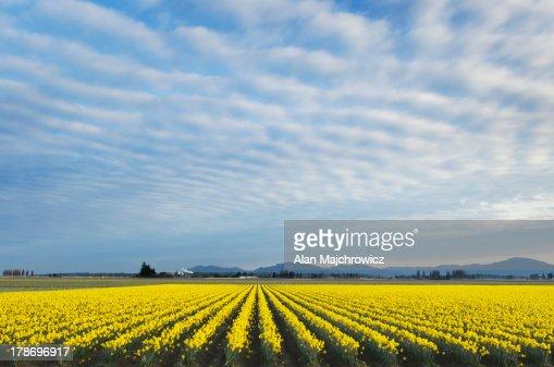 Skagit Valley Daffodils : Stock Photo