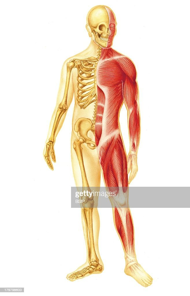 human skeletal system stock photos and pictures | getty images, Muscles