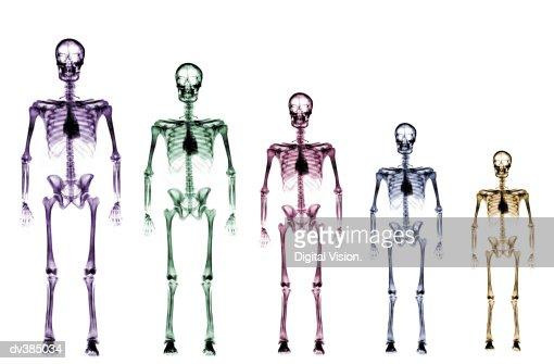 Skeleton growth chart