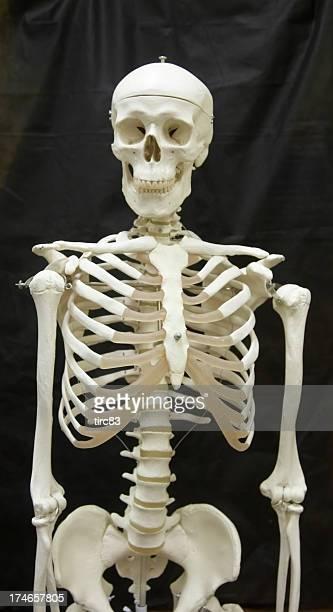 Skeleton medical model
